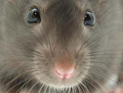 I Smell a (Trochulis) RAT